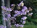 Thalictrum rochebrunnianum.jpg