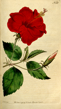 The Botanical Magazine, Plate 158 (Volume 5, 1792).png