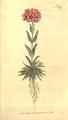 The Botanical Magazine, Plate 394 (Volume 11, 1797).png