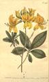 The Botanical Magazine, Plate 433 (Volume 13, 1799).png