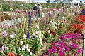 The Flower Fields at Carlsbad Ranch 8 2014-04-28.jpg