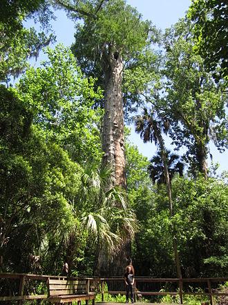 Taxodium ascendens - Image: The Senator Tree Longwood Florida