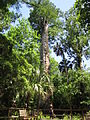 The Senator Tree Longwood Florida.JPG