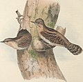 The birds of Europe (1837) (14565567567).jpg