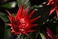 The bromeliads (24983038030).jpg