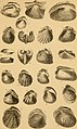 The conchologist's text-book - embracing the arrangements of Lamarck and Linnaeus with a glossary of technical terms, to which is added a brief account of the mollusca (1858) (20653094466).jpg