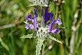 Thistle Sage (Salvia carduacea) flowers.jpg