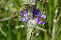 Thistle Sage (Salvia carduacea) flowers