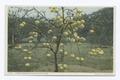 Three Year Old Grape Fruit Tree, Florida (NYPL b12647398-73871).tiff