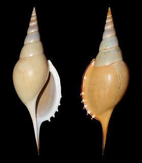 <i>Rostellariella</i> genus of molluscs