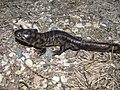Tiger Salamander (6922589776).jpg