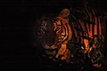 Tiger in the night DSC 5138.jpg