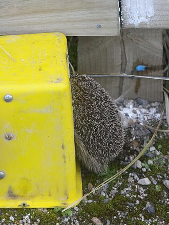 Timms trap - Hedgehog caught in a Timms trap