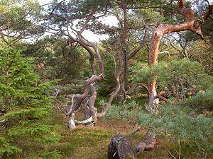Tisvilde - Image: Tisvilde Hegn pine trees