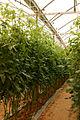 Tomates cerises (0).JPG