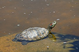 Trachemys scripta elegans partially submerged.jpg