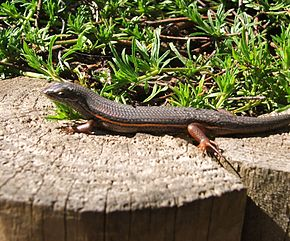Description de l'image Trachylepis homalocephala - RedSided Skink - Cape Town.JPG.