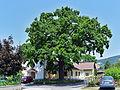 Traisen - Naturdenkmal LF-081 - Stieleiche (Quercus robur) - 1.jpg