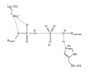 Carbohydrate sulfotransferase - Image: Transition state proposed by Chapman et al 2004 for sulfotransferase