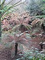 Tree Ferns (Dicksonia antarctica) in the Tree Fern Pit at Trewidden Garden - geograph.org.uk - 1170372.jpg