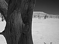 Tree detail, Dead Vlei (3688099586).jpg