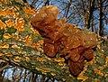 Tremella foliacea 72635 MushroomObserver cropped.jpg
