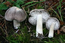 270px-Tricholoma_terreum_20061105wb.jpg