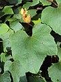 Trichosanthes tricuspidata var. tomentosa.JPG