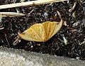 Tridrepana species - Flickr - gailhampshire.jpg