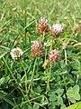 Trifolium fragiferum (subsp. fragiferum) sl48.jpg