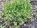 Trifolium fragiferum Habitus 2010 5 09 DehesaBoyaldePuertollano.jpg
