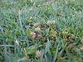 Trifolium glomeratum habit2 (10640565724).jpg