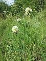 Trifolium montanum (subsp. montanum) sl19.jpg