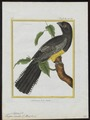 Trogon viridis - 1700-1880 - Print - Iconographia Zoologica - Special Collections University of Amsterdam - UBA01 IZ16700345.tif