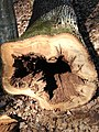 Trulo drvo1.jpg