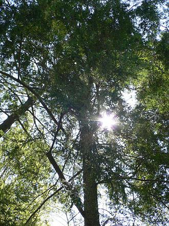 Shade tolerance - Eastern Hemlock is a shade tolerant tree.