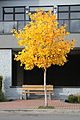 Tulip tree on Bevan Avenue, Sidney BC Oct 2012.jpg