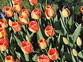 Tulips at Albany Festival1.jpg