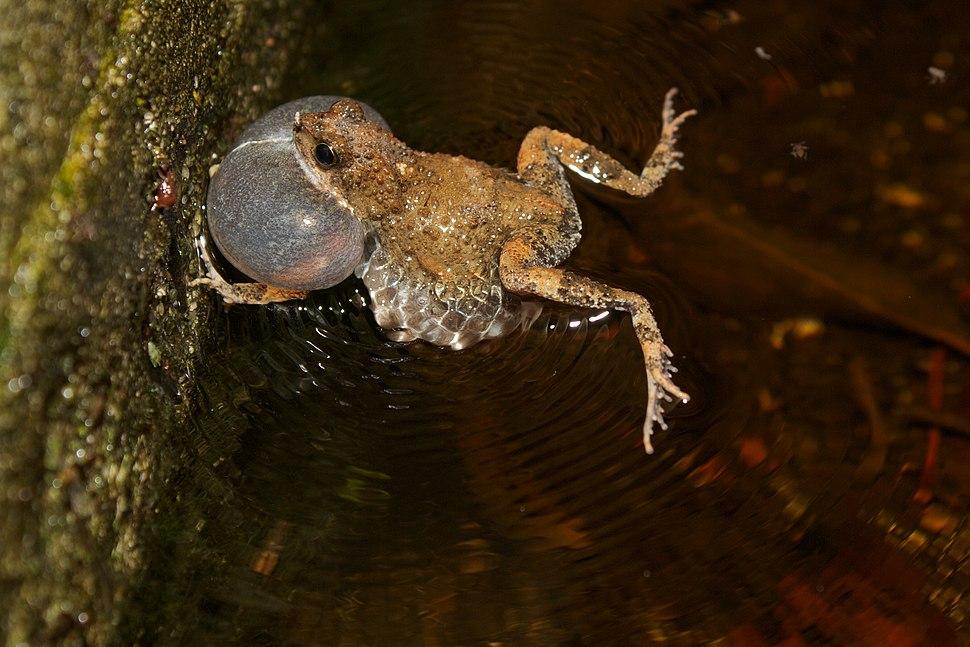 Tungara Frog (Engystomops pustulosus) Calling