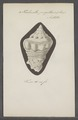 Turbinella pugillaris - - Print - Iconographia Zoologica - Special Collections University of Amsterdam - UBAINV0274 084 04 0014.tif