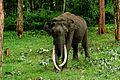 Tusker in Kabini 02.jpg
