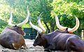 Tutsi cows2.jpg
