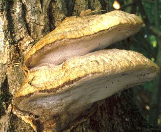 Aurantiporus - Aurantiporus fissilis