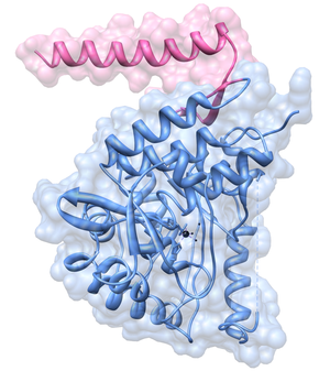 Tyrosine hydroxylase - Tyrosine hydroxylase from rat showing two of its domains, the tetramerization domain (pink) and the catalytic domain (blue). The regulatory domain (not shown) would sit somewhere on the right hand side of the image where also the enzyme's substrate would enter from.
