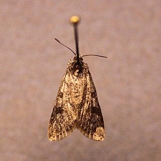 <i>Udea torvalis</i> Species of moth
