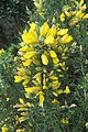 Ulex europaeus - common gorse - at Ooty 2014 (4).jpg