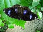 Unbekannter Schmetterling von oben.JPG