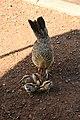 Unidentified bird -Kauai, Hawaiian Islands, USA -mother and chicks-8.jpg