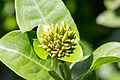 Unidentified flower, Taman Sari, Yogyakarta, 2014-05-19 02.jpg