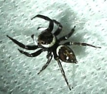 Unknown.blackwhite.salticid.top.jpg